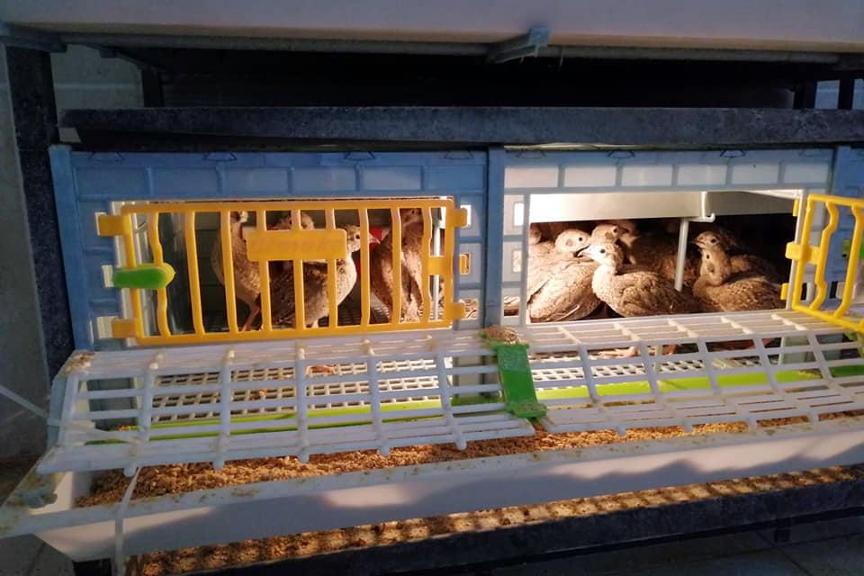 Kınalı keklikler yumurtadan çıktı